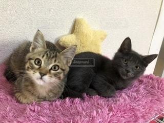 ピンクの毛布の上に横たわる猫の写真・画像素材[1813942]