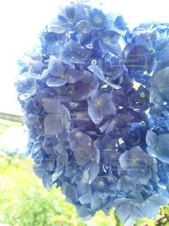 紫陽花の写真・画像素材[542024]