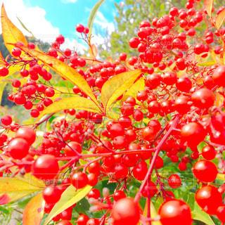 近くに赤い果実のの写真・画像素材[847874]