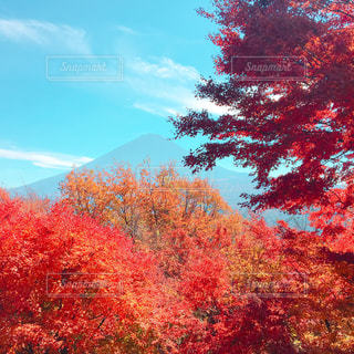 森の中の赤いツリーの写真・画像素材[852955]