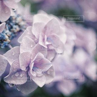 雨,屋外,水滴,紫陽花