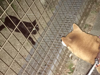 犬,猫,かわいい,柴犬,猫ちゃん,ツーショット