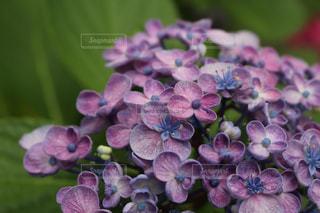 紫,紫陽花,梅雨,福岡,筥崎宮,紫陽花まつり