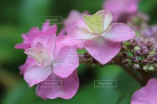 ピンクの紫陽花 - No.1244311