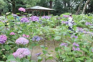 紫陽花の森 - No.1244314