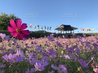 公園のコスモスの写真・画像素材[1503839]