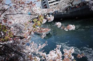 桜,神奈川県,大岡川