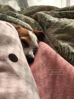 犬,昼寝,寝顔,布団