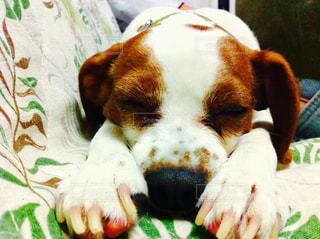 犬,昼寝,寝顔