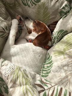 犬,昼寝,ペット,寝顔,布団,ぽかぽか