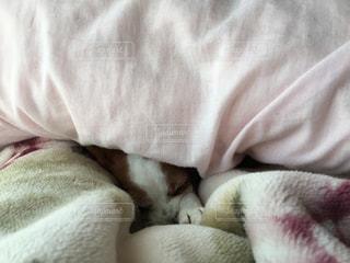 犬,ペット,寝顔,布団,寒い,もぐる