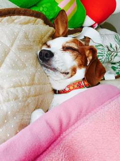 犬,かわいい,昼寝,ペット,寝顔,布団,ブサイク