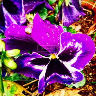 植物の紫色の花の写真・画像素材[824898]