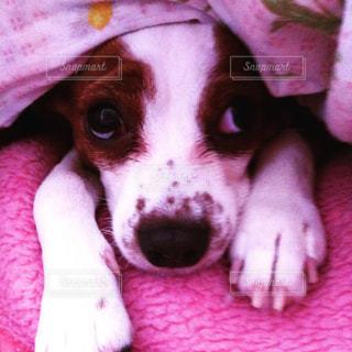 ピンクの毛布の上に横になっている茶色と白犬の写真・画像素材[886475]
