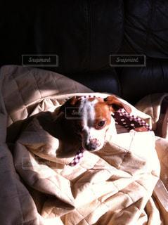 茶色と白の犬をベッドの上に座って - No.886482