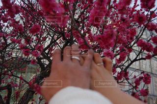 春,カップル,梅,晴天,手,指輪,山梨,ツーショット