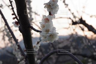 自然,春,桜,蕾,三月,卒業式