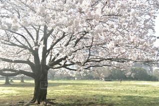 花,春,桜,東京,光,木場公園,木場