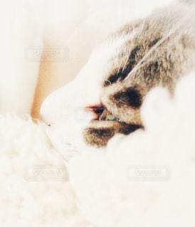 その口を開いて白猫の写真・画像素材[871443]