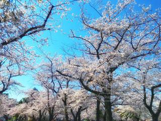 桜の写真・画像素材[1884712]