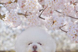 犬,自然,花,春,桜,動物,白,景色,癒し,ビションフリーゼ,桜満開,春一番