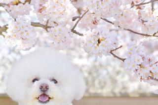 犬,春,桜,動物,白,景色,癒し,ビションフリーゼ,桜満開
