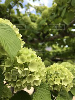花,雨,緑,あじさい,紫陽花,梅雨,珍しい,黄緑,アジサイ,梅雨の花