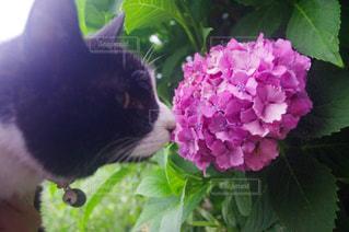猫,動物,雨,ピンク,植物,あじさい,紫,紫陽花,梅雨,6月,ネコ,アジサイ,白黒猫