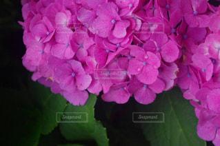 雨,ピンク,植物,あじさい,紫,紫陽花,アップ,梅雨,6月,アジサイ,雨の雫