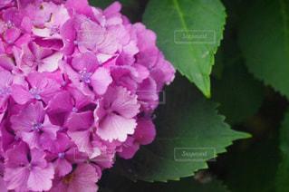 雨,ピンク,植物,かわいい,あじさい,紫,花びら,お花,紫陽花,アップ,梅雨,6月,アジサイ,フォトジェニック,雨の雫