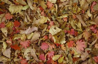 落ち葉の絨毯の写真・画像素材[1608185]