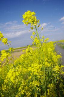 自然,空,花,春,屋外,緑,植物,青空,フラワー,黄色,ペンタックス,葉,菜の花,花びら,お花,草,生き物,一眼レフ,黄,草木,きいろ,yellow,花粉,日本の花