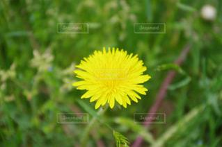 自然,花,春,屋外,緑,植物,フラワー,ペンタックス,花びら,お花,草,たんぽぽ,一眼レフ,草木,蒲公英,タンポポ,日本の花