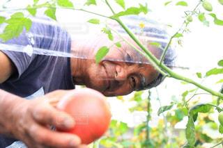 トマトの写真・画像素材[519617]