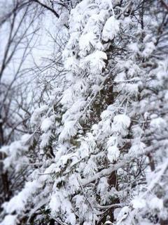雪に覆われた木 - No.937615