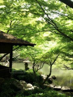 森の大きな木の写真・画像素材[1170016]