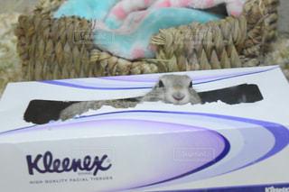 ティッシュの箱にいる齧歯動物リチャードソンジリスの写真・画像素材[749462]