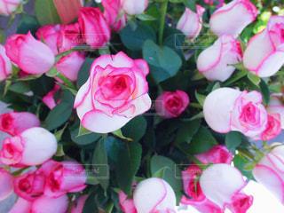 ピンクの薔薇の写真・画像素材[842894]
