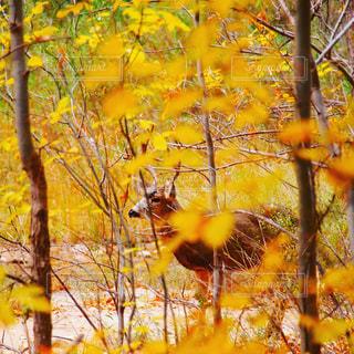 秋色見つけた!紅葉とシカの写真・画像素材[874023]