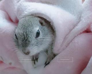 手で小さな齧歯動物の写真・画像素材[1006991]