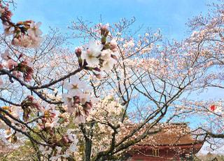 富士山本宮浅間大社で見つけた桜 / 2018年3月撮影 - No.1121982