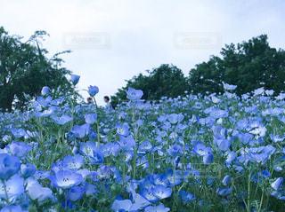 近くの花のアップ 昭和記念公園 ネモフィラ お花畑 / 2018年4月撮影の写真・画像素材[1158297]