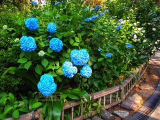 庭園に色とりどりの花のグループ 紫陽花 あじさい アジサイ ハート 花 梅雨の写真・画像素材[1216571]