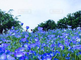 青い 花 ネモフィラ 丘 お花畑 昭和記念公園 立川市の写真・画像素材[1227876]