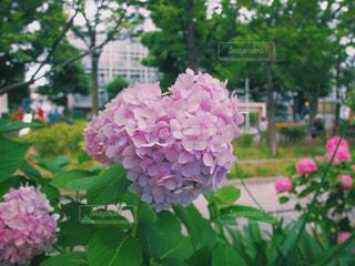 梅雨入り 花 あじさい アジサイ 紫陽花 ハート ピンクの写真・画像素材[1254990]