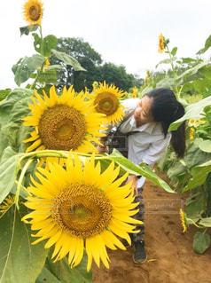 黄色の花 ひまわり 畑 夏 女性の写真・画像素材[1367710]