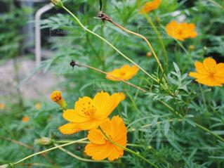 道ばたでみつけた秋色のコスモスの花の写真・画像素材[1501921]