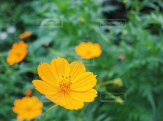 9月14日 コスモスの日 道ばたに咲いていた秋色のコスモスの花の写真・画像素材[1502583]