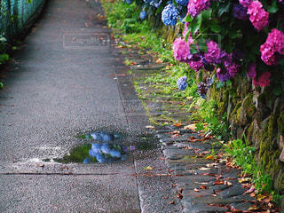 飛鳥山公園 飛鳥の小径 水たまり ブルー ピンク 紫陽花 アジサイ 梅雨 雨季の写真・画像素材[2245608]