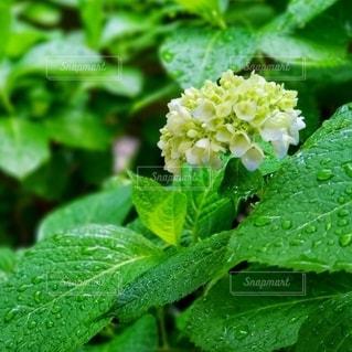 緑の植物のクローズアップの写真・画像素材[3216905]